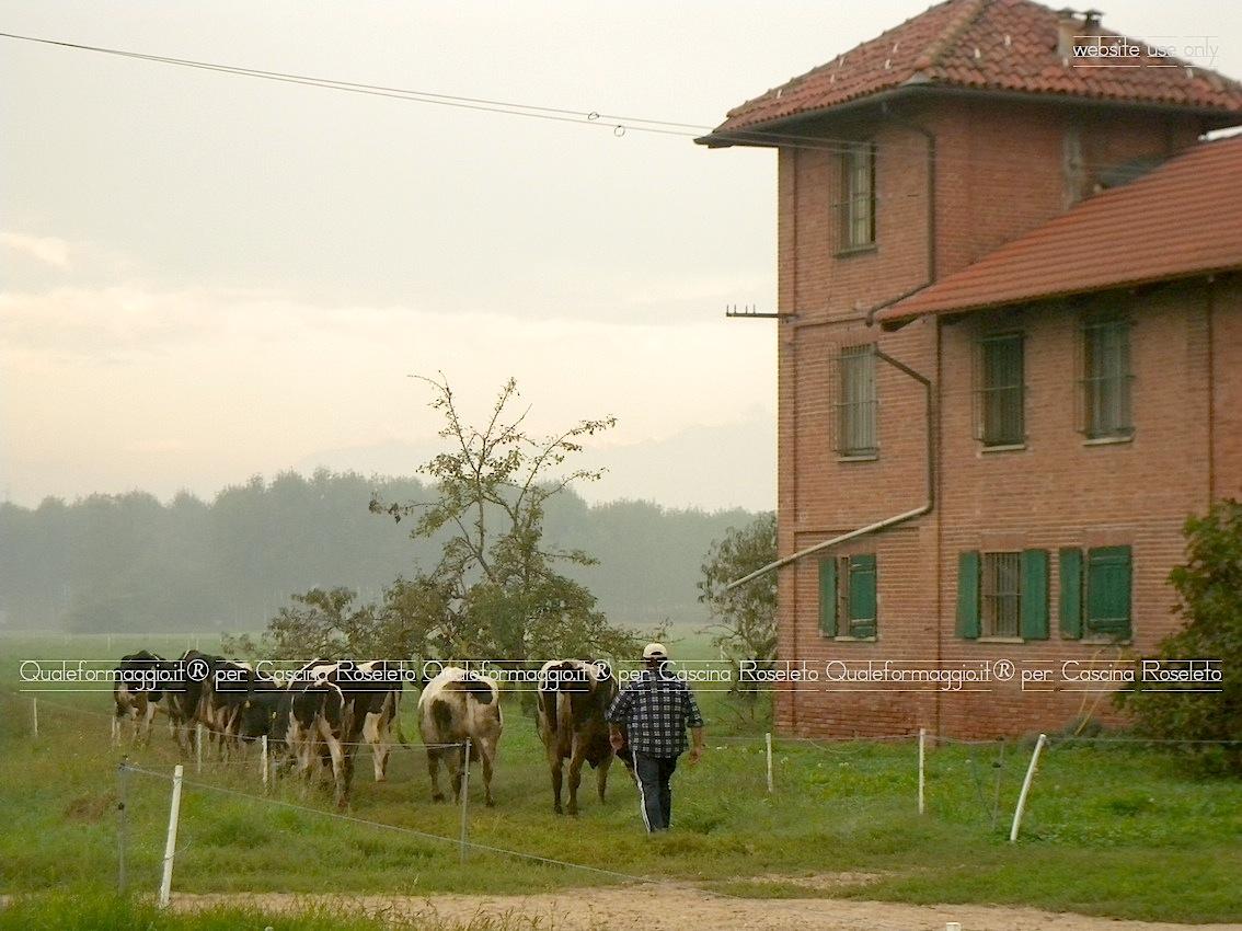 Oggi come un tempo, le nostre vacche sono condotte sui pascoli aziendali ogni volta che il meteo ce lo consente