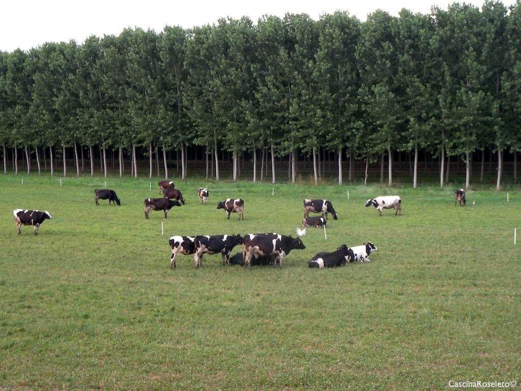 Tutti i giorni in cui il clima lo permette, le nostre mucche pascolano nei prati aziendali che circondano l'azienda. In alternativa buon foraggio a volontà